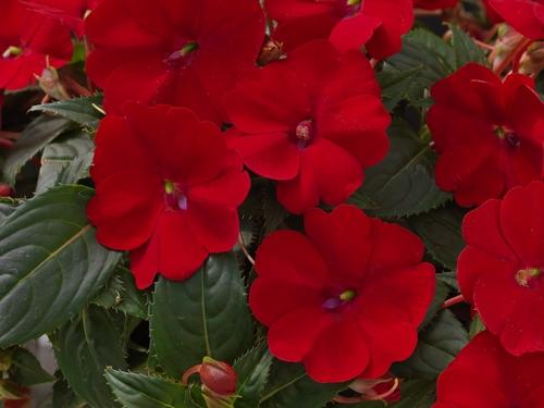 les meilleures fleurs annuelles pour vos pots et plates bandes d conome. Black Bedroom Furniture Sets. Home Design Ideas