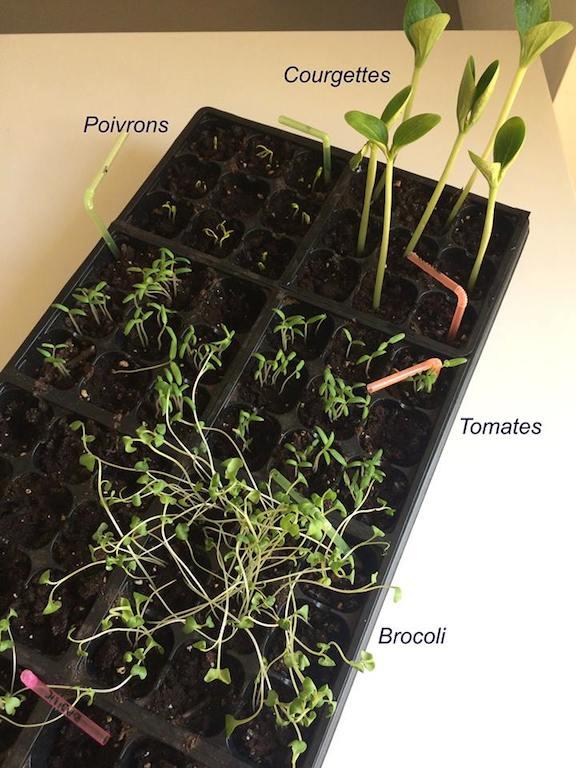 pousses de semis 15 jours apres