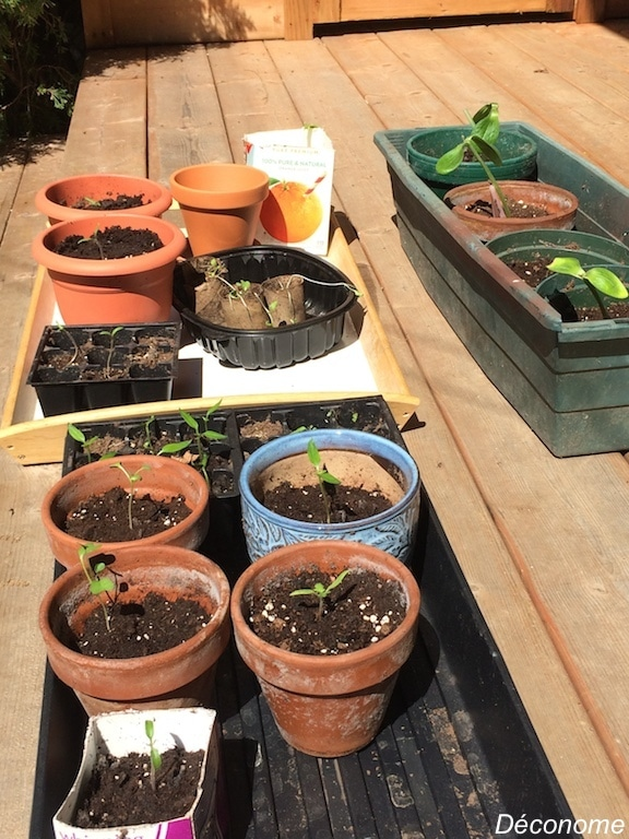 pousses de semis de tomates, courgettes et brocolis / how to make seedlings