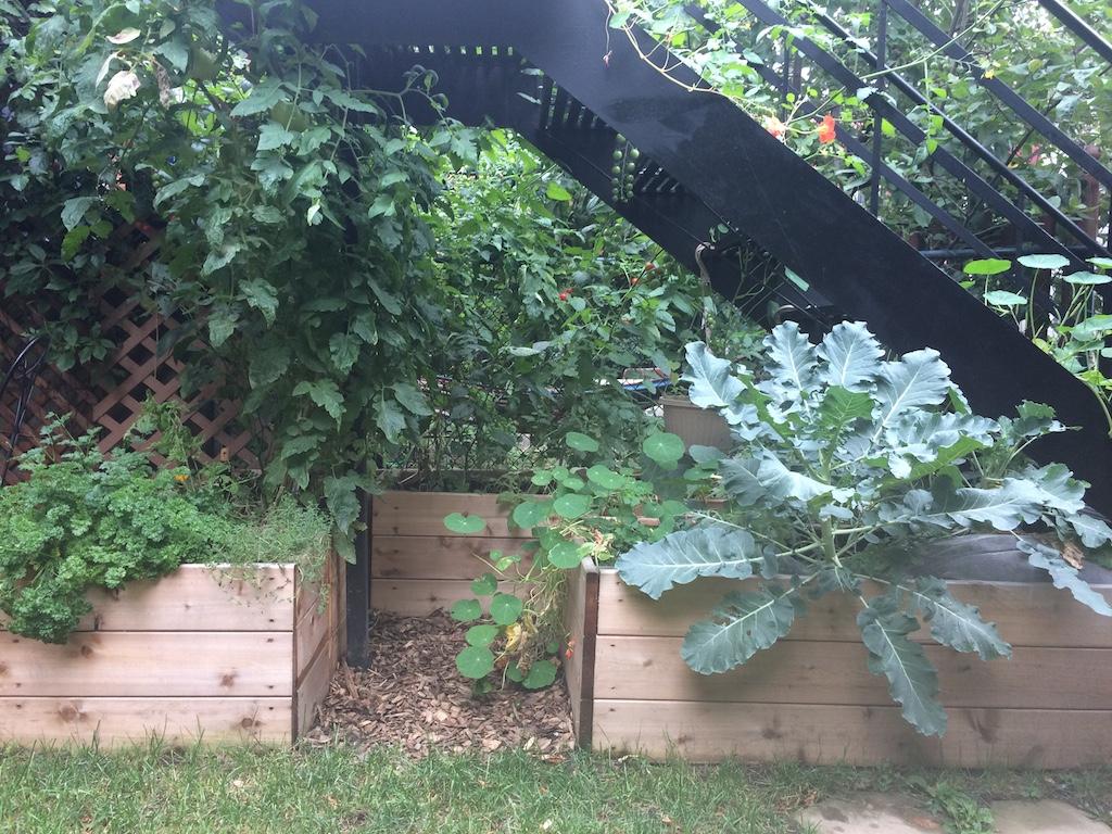 Gros plan de brocolis dans jardin potager surélevé en bacs