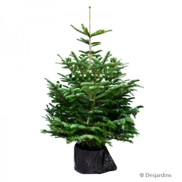 sapin naturel en motte